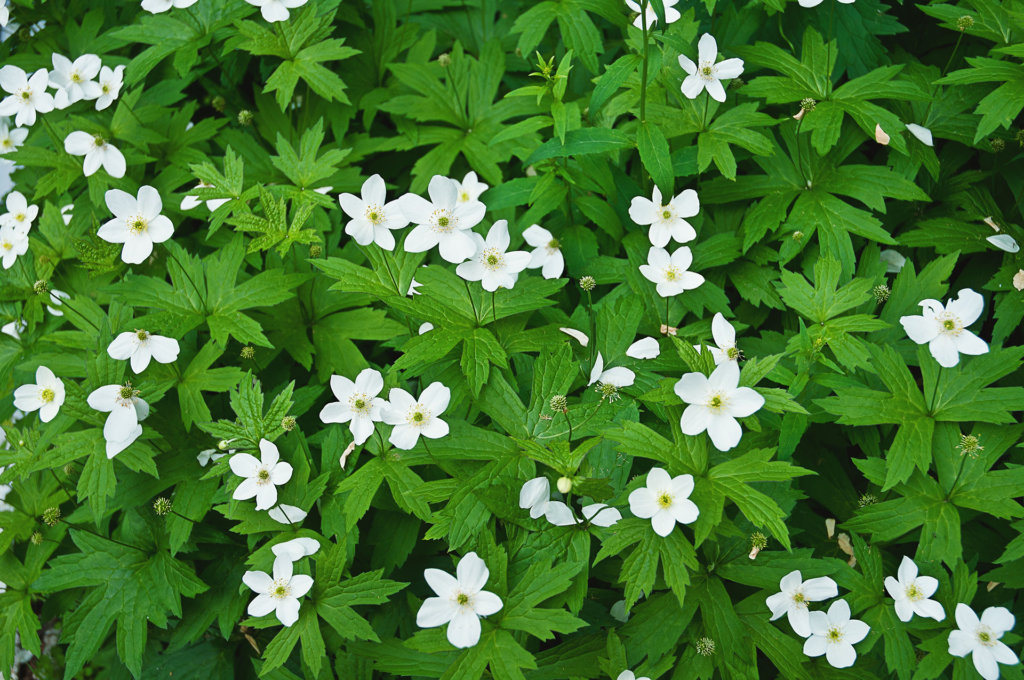 15 Best Ground Cover Plants For Shade, Ground Cover Flowering Plants